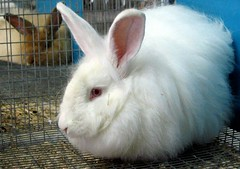 animal(1.0), rabbit(1.0), domestic rabbit(1.0), pet(1.0), angora rabbit(1.0), whiskers(1.0), rabits and hares(1.0),