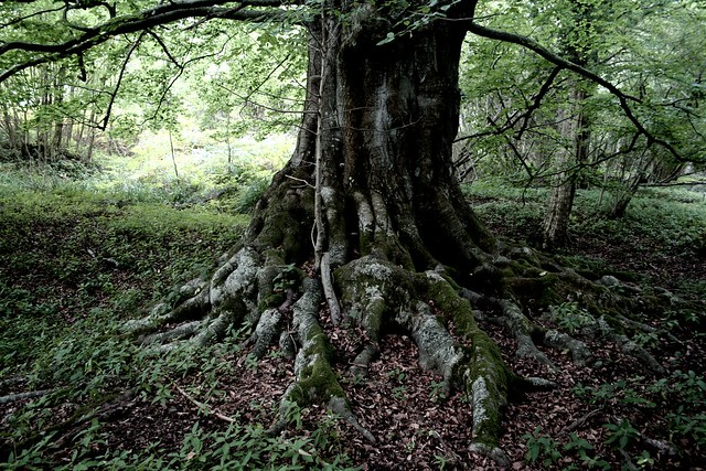 Great Tree- Beech- Brightling East Sussex