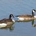 Small photo of A couple of quackers