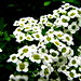 Small photo of White Alyssum