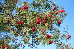 evergreen(0.0), shrub(0.0), flower(0.0), strawberry tree(0.0), hawthorn(0.0), branch(1.0), leaf(1.0), tree(1.0), flora(1.0), produce(1.0), fruit(1.0), food(1.0), rowan(1.0),