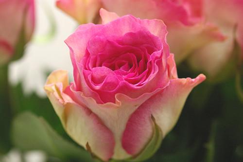 Photo:rose maribu By koizumi