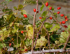 shrub(0.0), berry(0.0), flower(0.0), produce(0.0), food(0.0), cloudberry(0.0), autumn(0.0), branch(1.0), leaf(1.0), tree(1.0), plant(1.0), flora(1.0), fruit(1.0), rose hip(1.0),