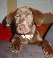 puppy(0.0), nova scotia duck tolling retriever(0.0), dog breed(1.0), labrador retriever(1.0), animal(1.0), dog(1.0), pet(1.0), carnivoran(1.0), chesapeake bay retriever(1.0),