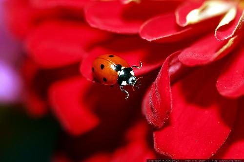 ladybug traversing zinnia petals    MG 2751