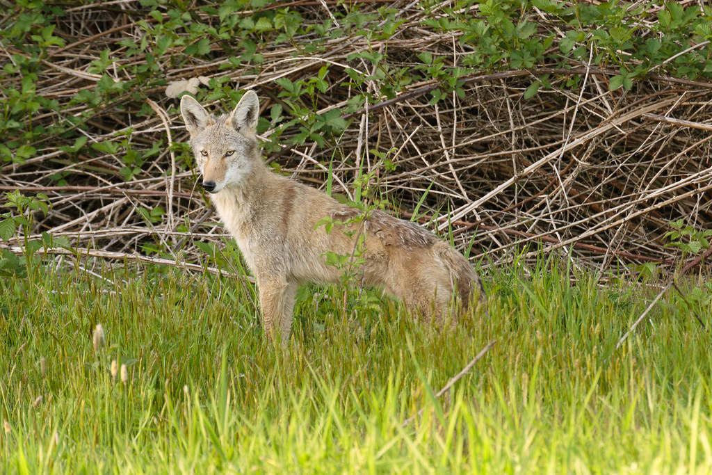 A coyote pauses in front of a blackberry thicket at Ridgefield National Wildlife Refuge in Washington