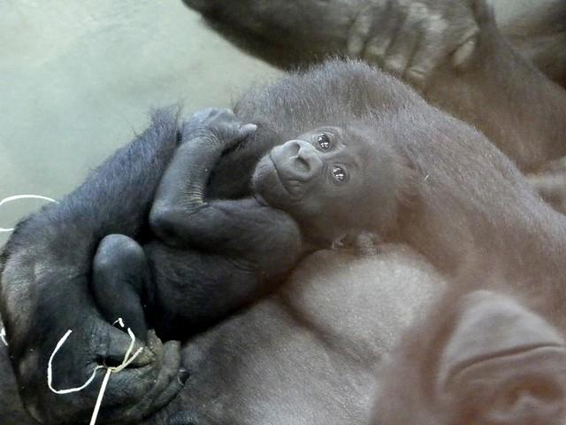 Gorilla Pelu, Wilhelma