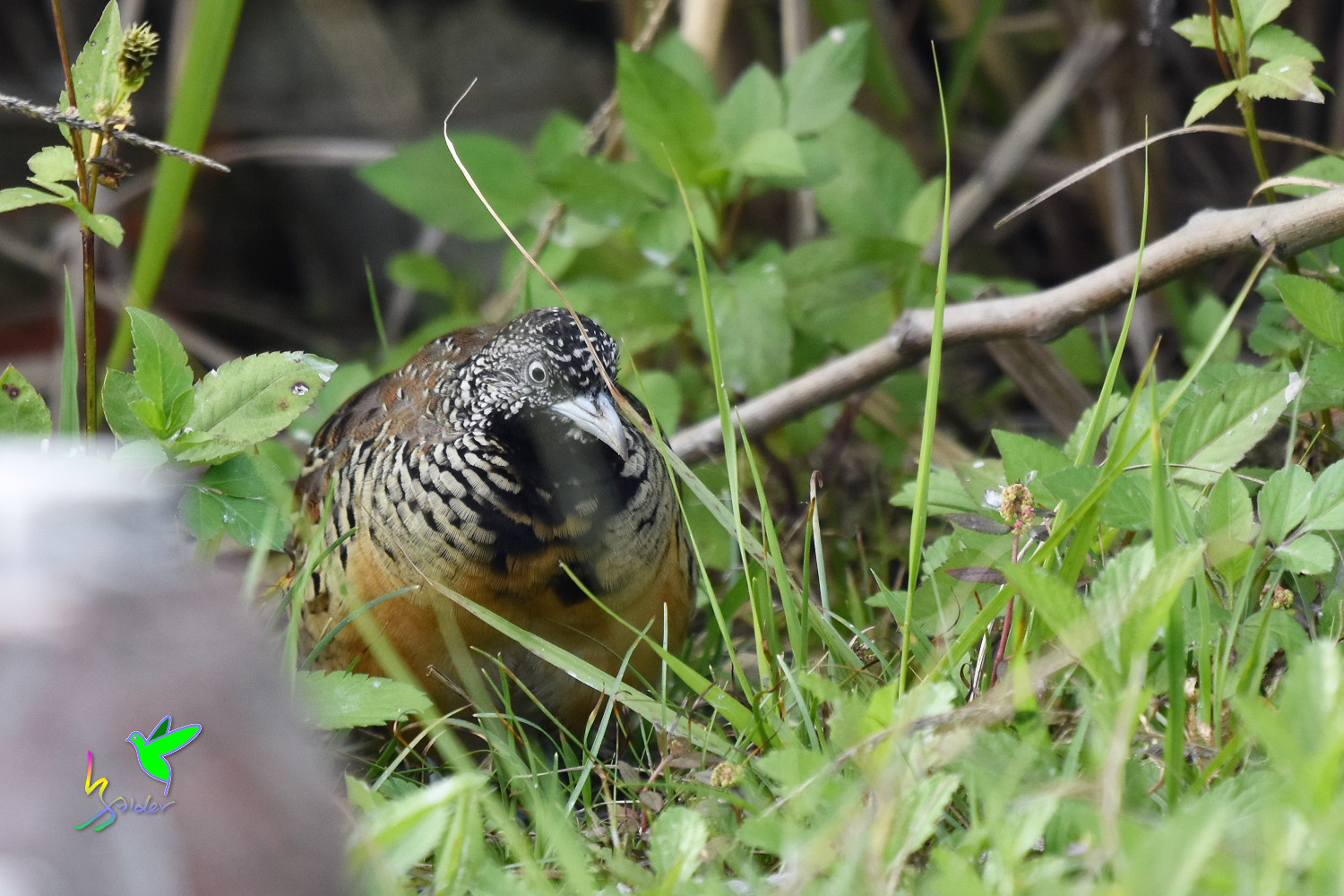 Barred_Buttonquail_9582