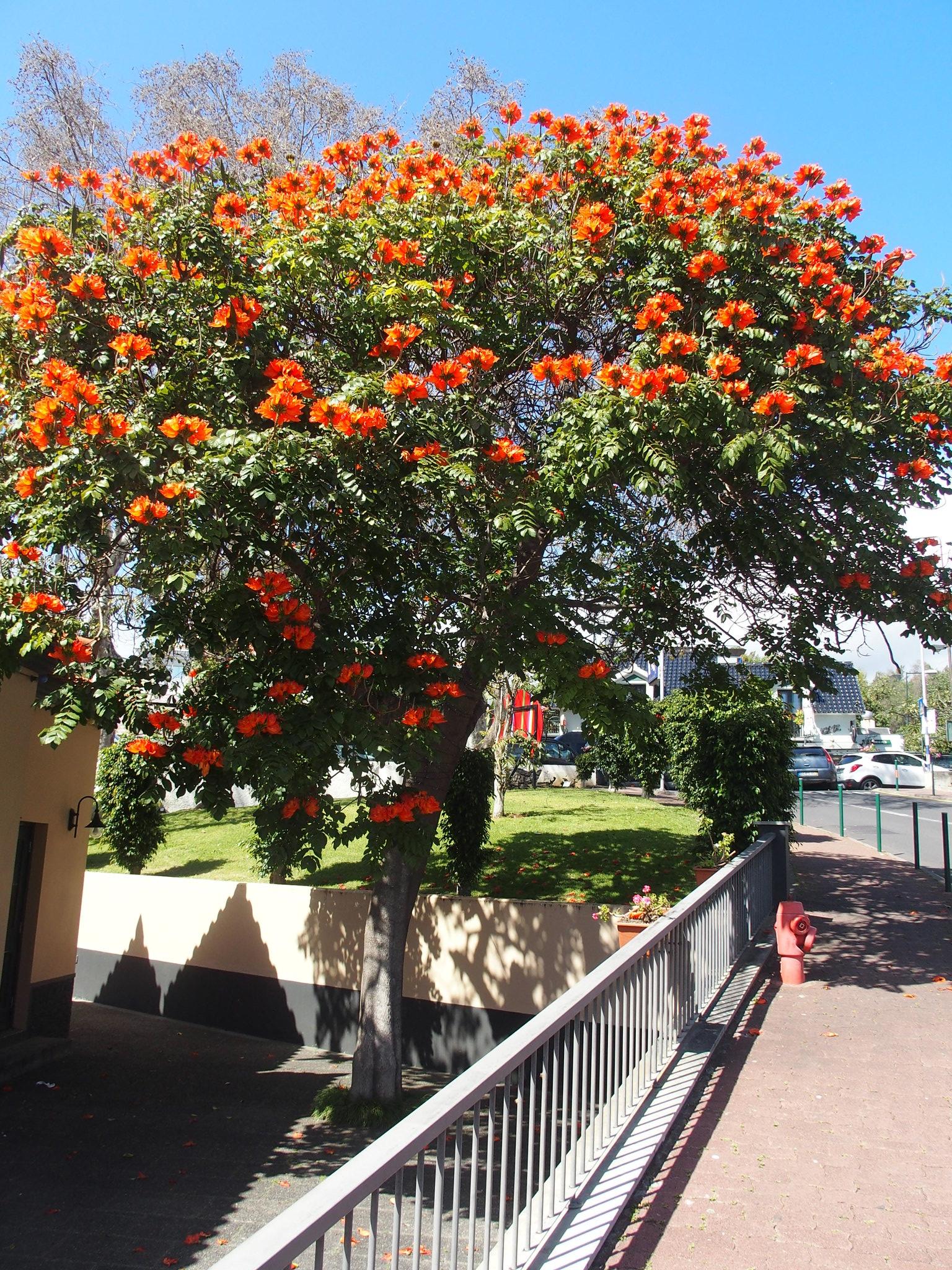 Vid hotellet - Tulpanträd