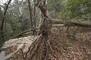 Shauna Wilson, Fallen Tree, Chimneys SNA, Marion County, Tennessee 2