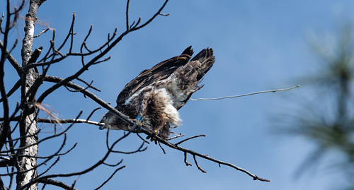 juvenile_bald_eagle_in_tree_pooping-20180404-100