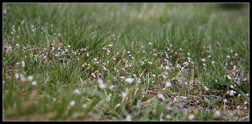 Draba verna (= Erophila verna) - drave printanière 39620666100_2283973e5a