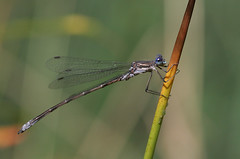 Spotted Spreadwing - Lestes congener - King County, Washington, USA - August 24, 2007