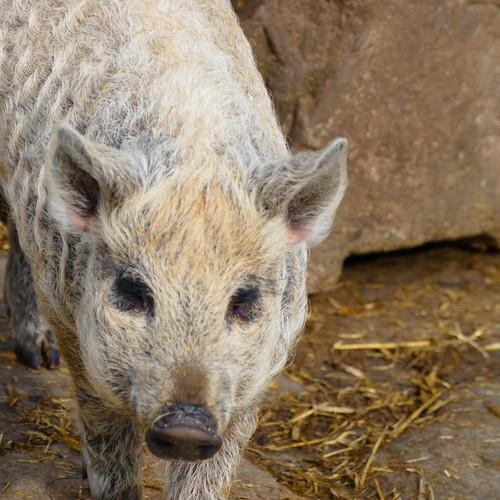Mangalitza piglet, Mary Arden's Farm, Wilmcote