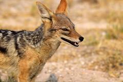 Black-backed Jackal (Canis mesomelas), Etosha NP, Oshikoto Region, Namibia