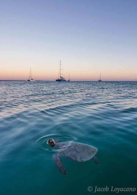 Green Sea Turtle Chelonia, Nikon D5200, Tokina AT-X 116 PRO DX II (AF 11-16mm f/2.8)