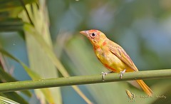 Summer tanager - Piranga vermillon - Piranga roja - Piranga rubra