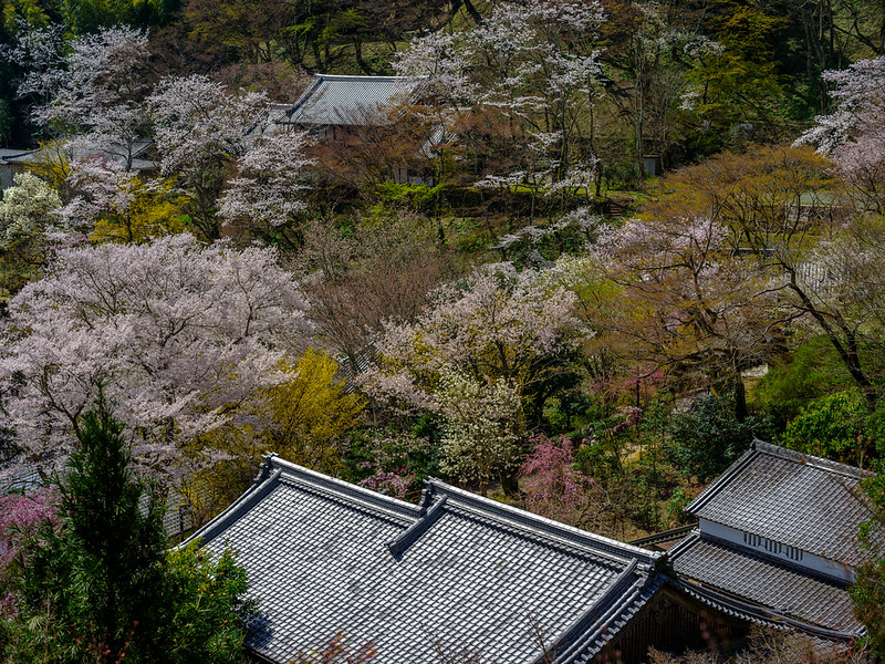 The Hasedera in spring