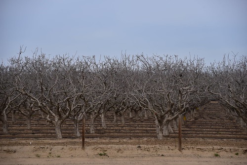 Almond trees early spring