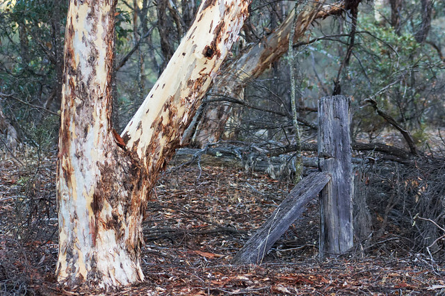 Wandoo tree and old fence post