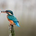 Kingfisher with fish... by Gary Neville