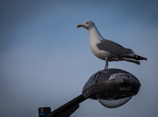 Gull - Dunoon March 2018, Panasonic DMC-GX8, LUMIX G VARIO 100-300/F4.0-5.6II