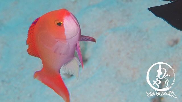 カシワハナダイオス