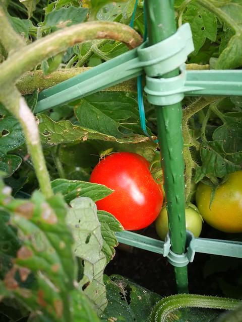 1 individual tomato