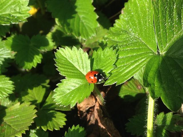 Ladybird on wild strawberries