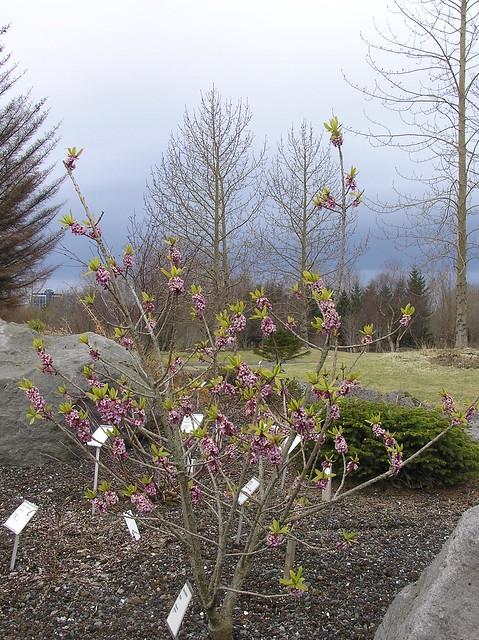 Daphne mezereum, Reykjavik Botanical Garden