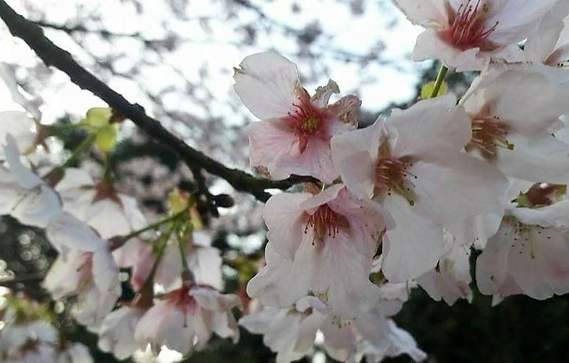 平菁街93巷橘咖啡賞櫻趣 (7)