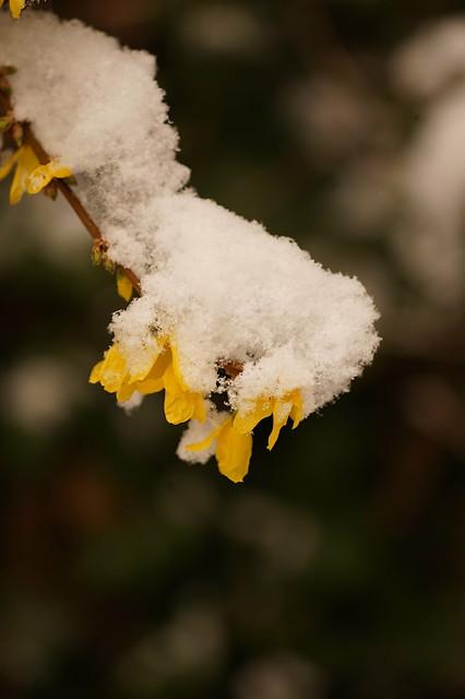 Branche de forsythia sous la neige