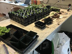 up potting in the kitchen IMG_2081