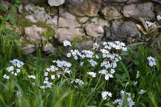 allium neapolitanum - Allium neapolitanum - ail de Naples 27624533808_89ae9cc46f_z