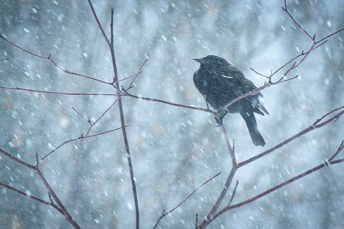 Red-Winged Blackbird: