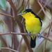 Common Iora (Aegithina tiphia) 黑翅雀鹎