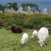 les moutons de retour dans les mégalithes de Carnac by camaroem56