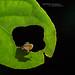 Leptopelis kivuensis, Uganda by Matthieu Berroneau