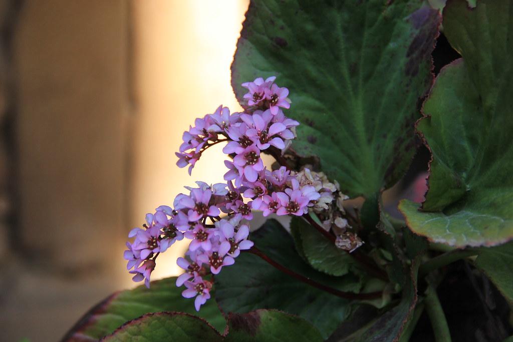 Flowers, Santa Pau