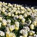 8. Rosas blancas en uno de los parques que ver en Dublín