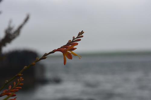 Blume vor dem Hafen von Ventry