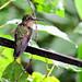 Glittering-throated emerald hummingbird, Copalinga Lodge, Ecuador