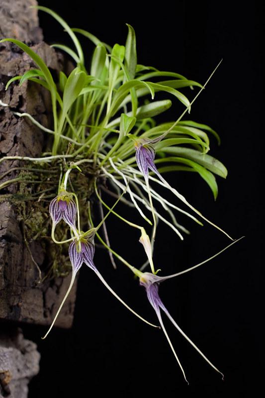 Miniatur-Orchideen Teil 4 - Seite 5 40113101895_afecc4a524_c
