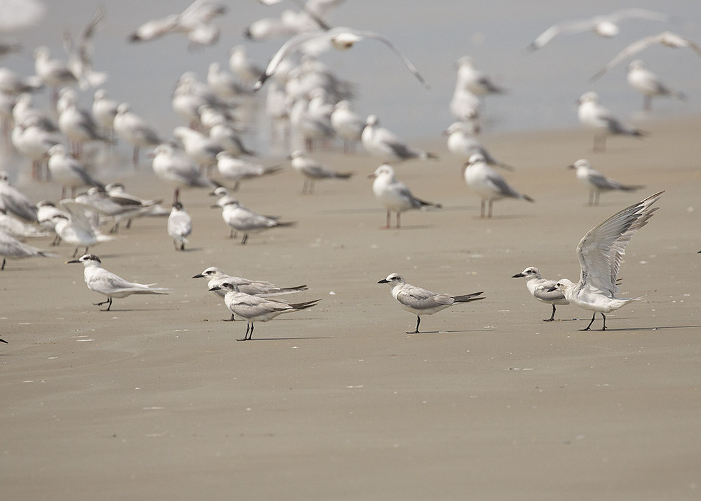 Gull-billed Tern Gelochelidon nilotica