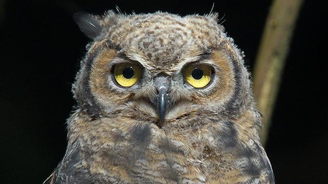 GH Owlet, Sony ILCA-99M2, Sony 500mm F4 G SSM (SAL500F40G)