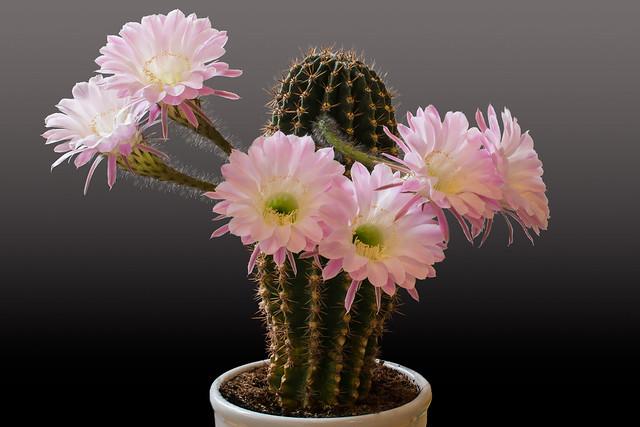 cactus [explored], Canon EOS 70D, Sigma 50mm f/1.4 EX DG HSM