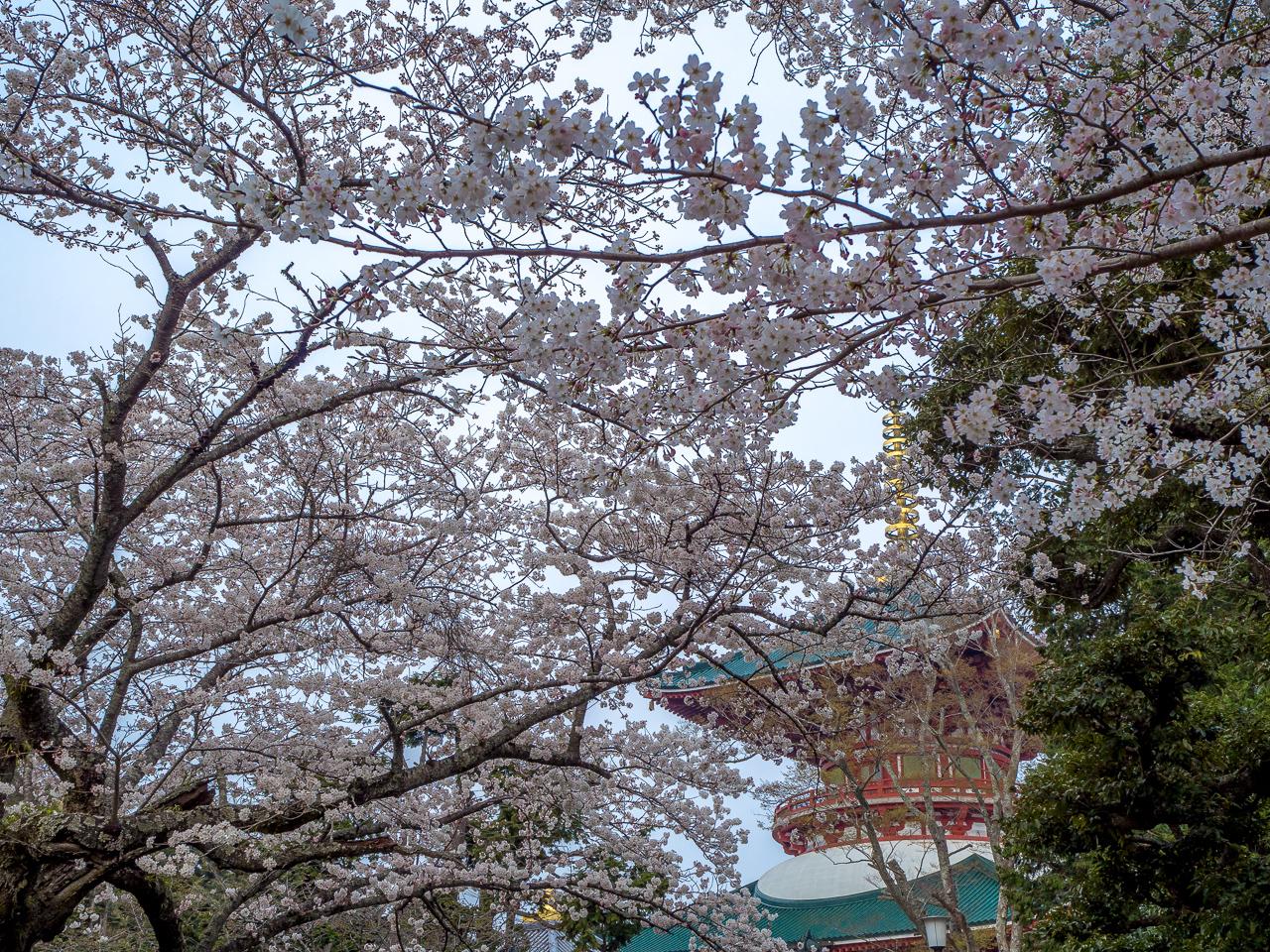 Sakura time in Narita, Tokyo