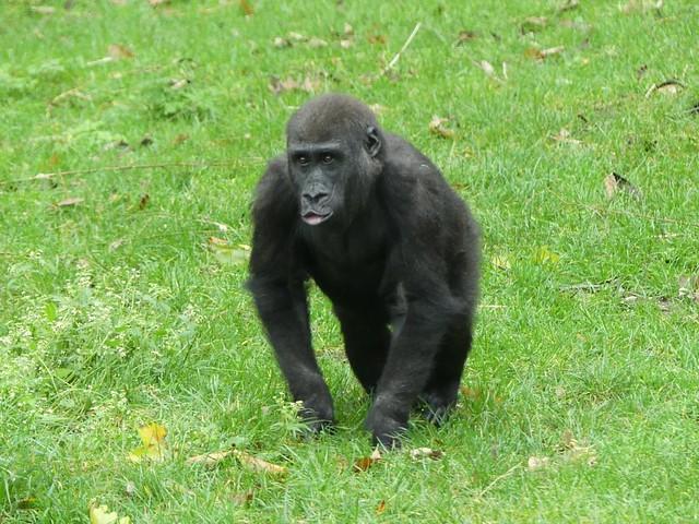 Gorilla, Burgers Zoo