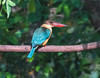 kingfisher-stork-billed-1