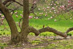 Magnolia Grove, New York Botanical Garden, Bronx, New York